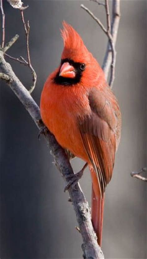 cardinals passerine and in the family on pinterest