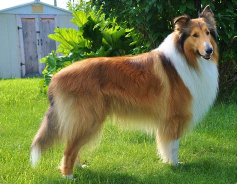 Smooth Collie Shedding collie rescue breeds picture