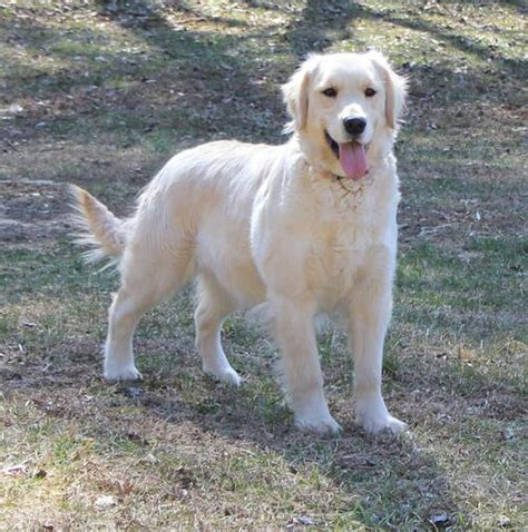 golden retriever puppies fredericksburg va golden retriever breeders near charlottesville va dogs our friends photo