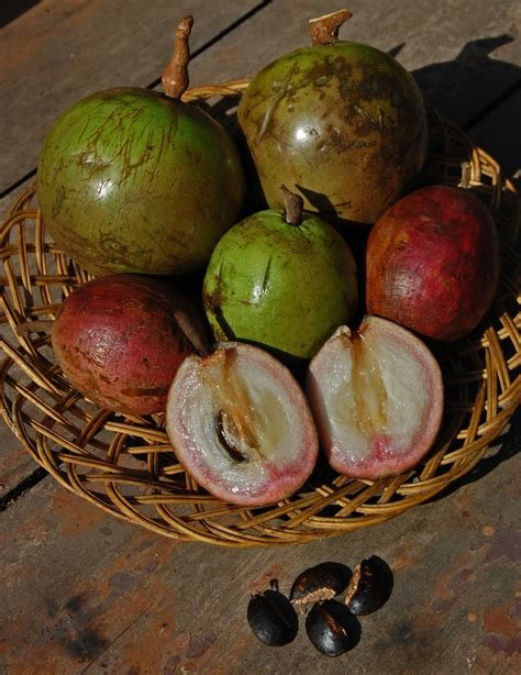 Pohon Sawo Manila Atau Sawo Durian sawo duren bahasa indonesia ensiklopedia bebas