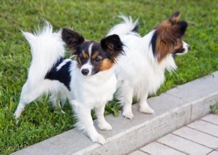 smartest small breeds list of small breeds wiki pet photos gallery az3wdqzbrj