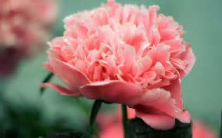 Flower Photography Gallery - peony photos full hd pictures