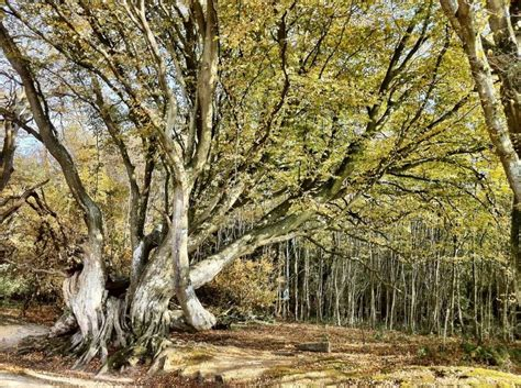 Woodland Tree - fighting for our woodland heritage bainbridge