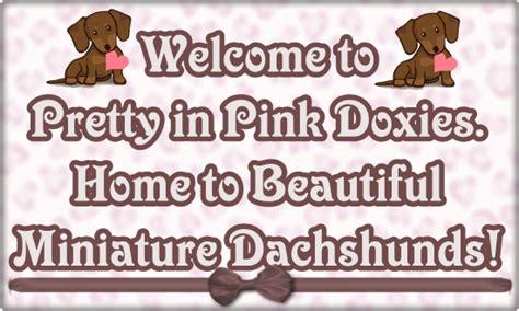 miniature dachshund puppies jacksonville fl mini dachshund puppies for sale jacksonville florida photo