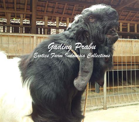 Jual Bibit Kambing Etawa Senduro kambing etawa newhairstylesformen2014