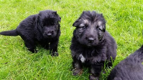 haired german shepherd puppies for sale haired german shepherd puppies for sale abergele conwy pets4homes