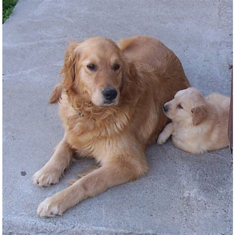 golden retriever breeders in va puppies for sale golden retriever including american etc golden