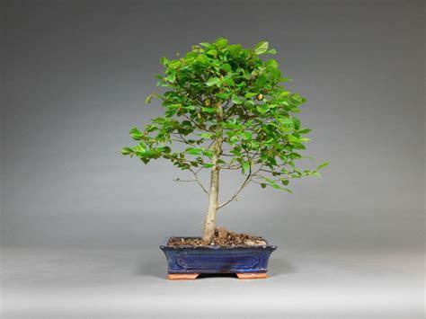 garten bonsai kaufen outdoor garten bonsai hainbuche carpinus betulus