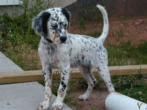 english setter dog wiki rare breed of the month mar 2013 by natiawarner on