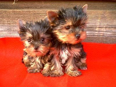 yorkie puppies for sale in toronto teacup yorkie puppies available for up toronto dogs for sale puppies for