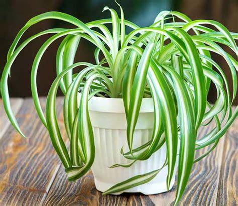spider plants benefits types indoor  outdoor growth