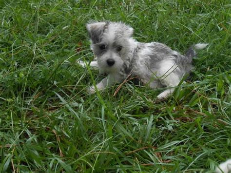 mauzer puppies for sale mauzer pups gorgeous babies for sale in hamilton carolina pets of