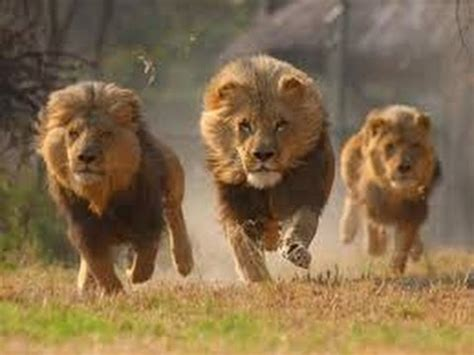 imagenes de leones bravos im 225 genes de leones im 225 genes