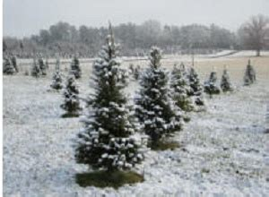 christmas trees northern va northern virginia tree farms choose and cut trees tree lots with pre cut