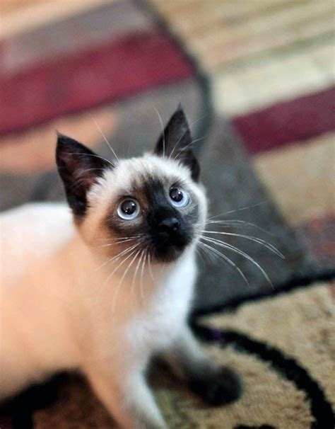 8 Reasons To Get A Siamese Cat by 25 Best Ideas About Siamese Kittens On