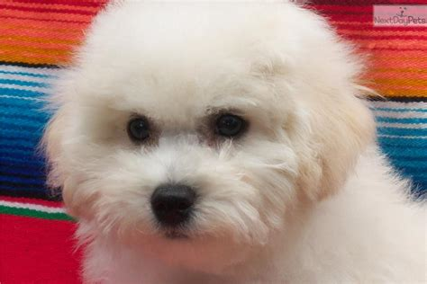 bichon frise puppies for sale ohio leigan bichon frise puppy for sale near columbus ohio 9a238628 4a21