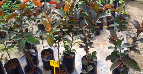 Benih Rambutan Gula Batu bumi hijau nursery 002279488 d benih jambu batu merah