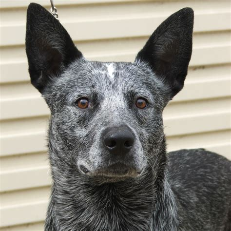 cattle dogs australian stumpy cattle breed guide learn about the australian stumpy