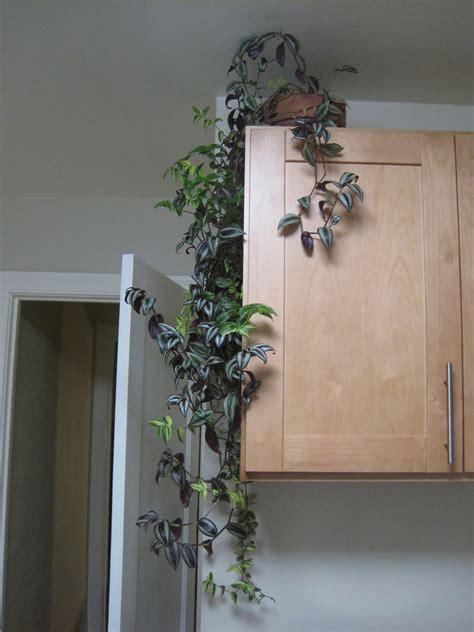 indoor climbing plants   grow climbing houseplants