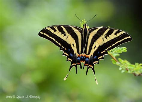 tigre y mariposa imagenes mariposas