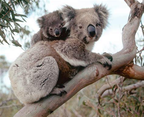 koala schlaf krafttierkarte koala