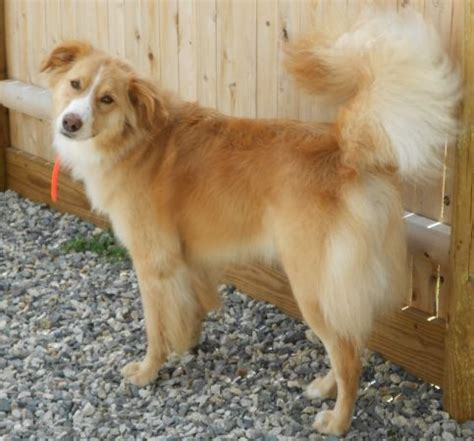 golden retriever collie golden retriever border collie mix