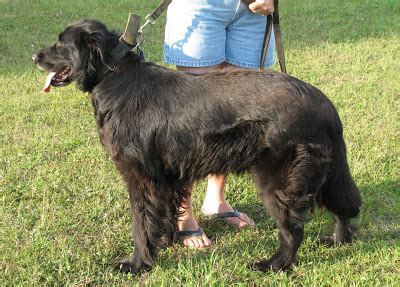 newfoundland lab mix puppies great pyrenees black lab mix m5xeu breeds picture