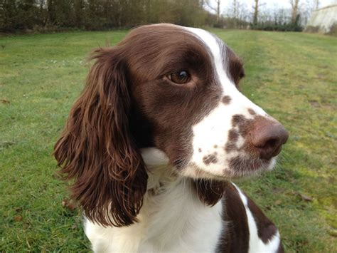 brown and white springer spaniel brown and white
