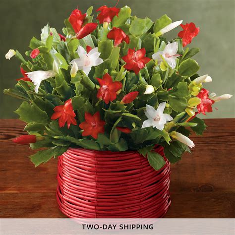 christmas cactus christmas plant gifts harry david