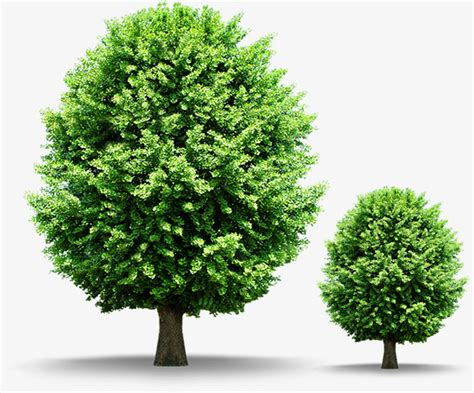 decorative trees trees green shade decorative trees png image and