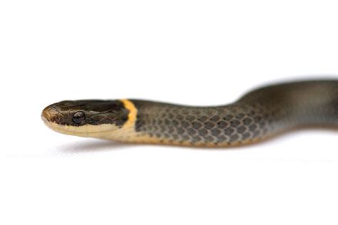ring necked snake