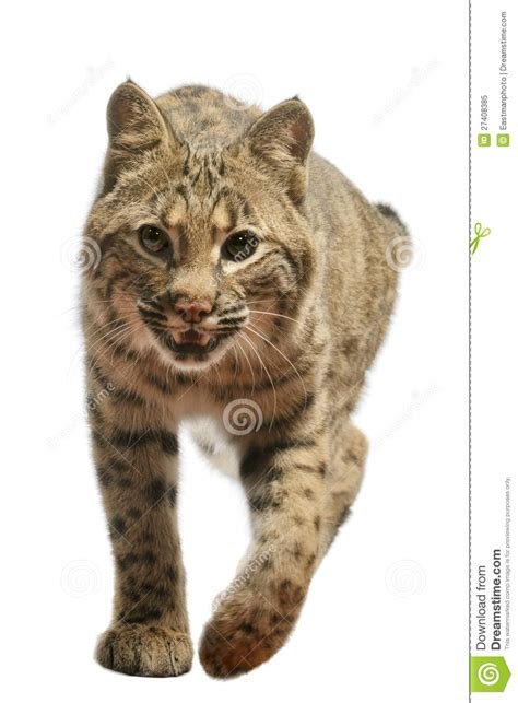 bobcat royalty  stock photo image