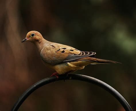 mourning dove simple english wikipedia the free