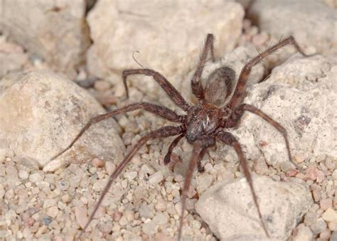 common house spider spider control in san jose by planet orange