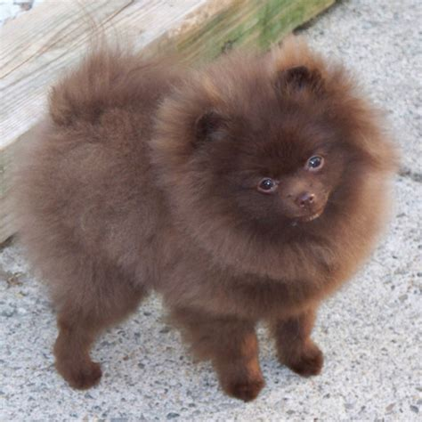 brown pomeranian puppies pomeranian puppies brown