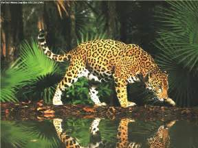 Jaguar In Forest Wildlifeecology Forest Biom
