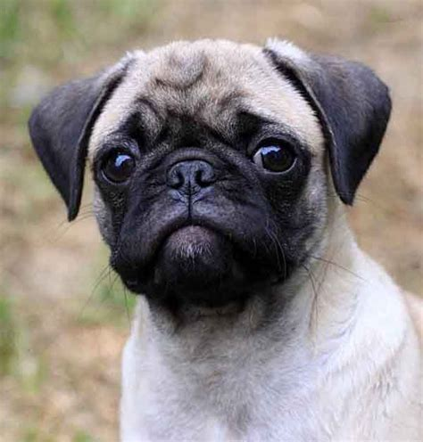 pug puppies portland oregon 25 best ideas about pug puppies on pug puppies pugs and baby dogs