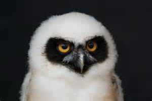 file baby spectacled owl jpg wikimedia commons