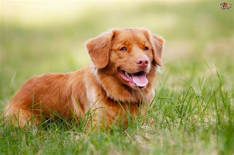 how to a to retrieve ducks scotia duck tolling retriever hereditary health and health testing pets4homes