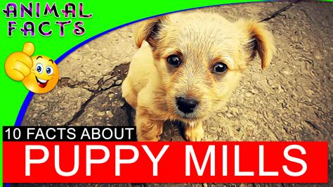 puppy facts for puppy mills exposed a clip of 10 facts figures and statistics aspca dogs 101