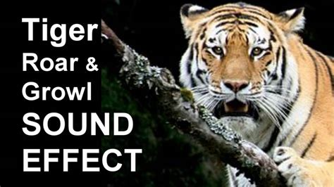 how to your not to growl tiger roar growl sound effect freesound