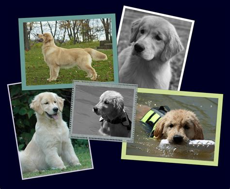 columbus golden retriever club ruffwater golden retrievers golden retrievers pittsburgh pa