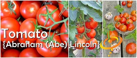 abraham lincoln tomato tomato abraham abe lincoln