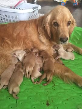 golden retriever puppies price range view ad golden retriever puppy for sale california oakhurst usa