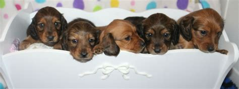 puppies for adoption maine haired dachshund puppies for adoption in maine