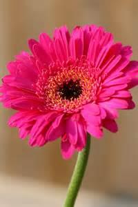 Gerber Daisies by Seasonal Flowers What Blooms In July Bloomnation Blog