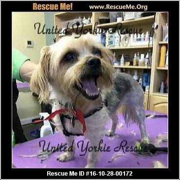 virginia yorkie rescue west virginia yorkie rescue adoptions rescueme org