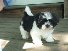 milk for shih tzu puppy shih tzu black white cutest thing i want looks much like my quincy only