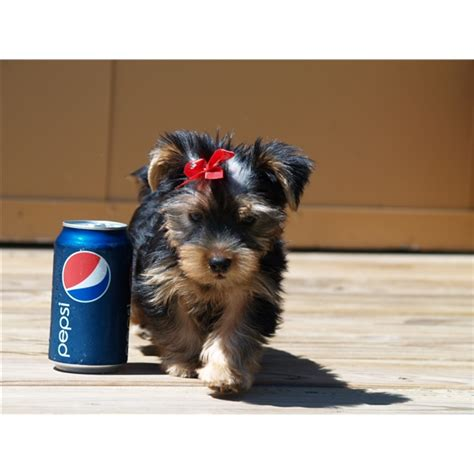 teacup mini yorkie teddy tiny teacup yorkie puppies for adoption because they r just so darn