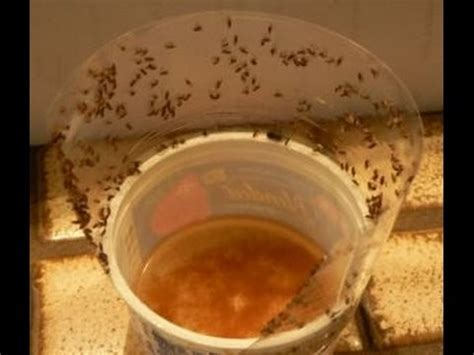 how to catch flies in house fruit fly trap how to get rid of fruit fly easily at